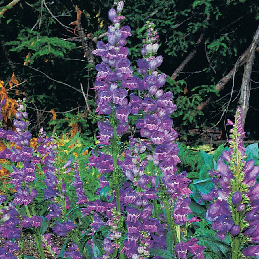 Rocky Mountain Penstemon Seeds Image
