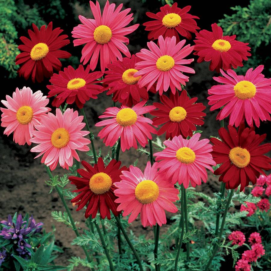 Robinsons mix pyrethrum daisy seeds parks selects izmirmasajfo