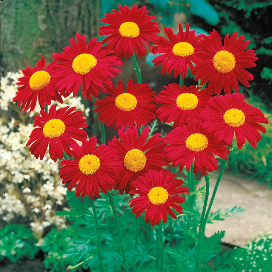 James Kelway Painted Daisy Seeds From Park Seed
