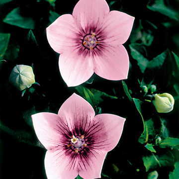Astra Pink Balloon Flower Seeds From Park Seed