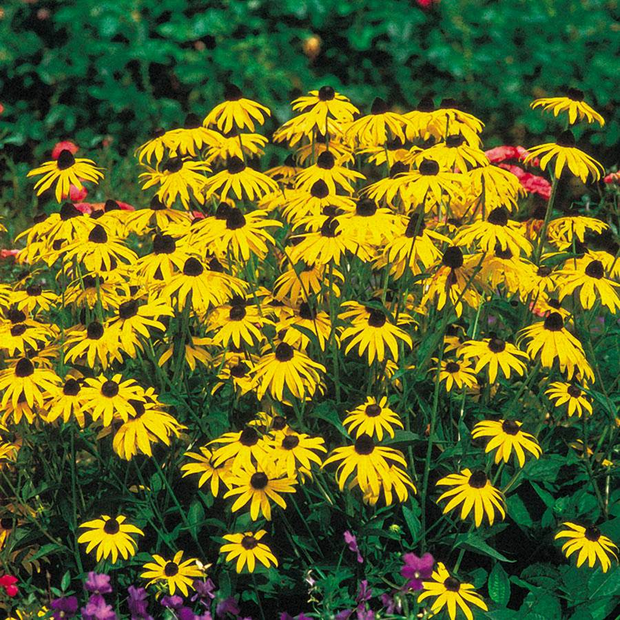 Goldsturm Strain Rudbeckia Seeds From Park Seed
