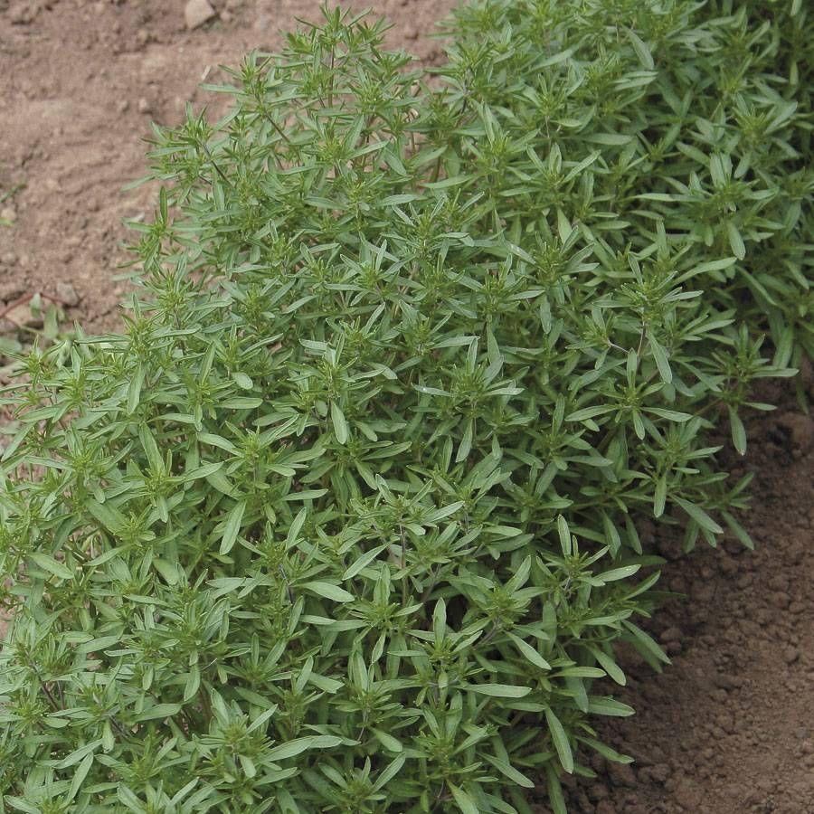 Summer Savory Seeds Image