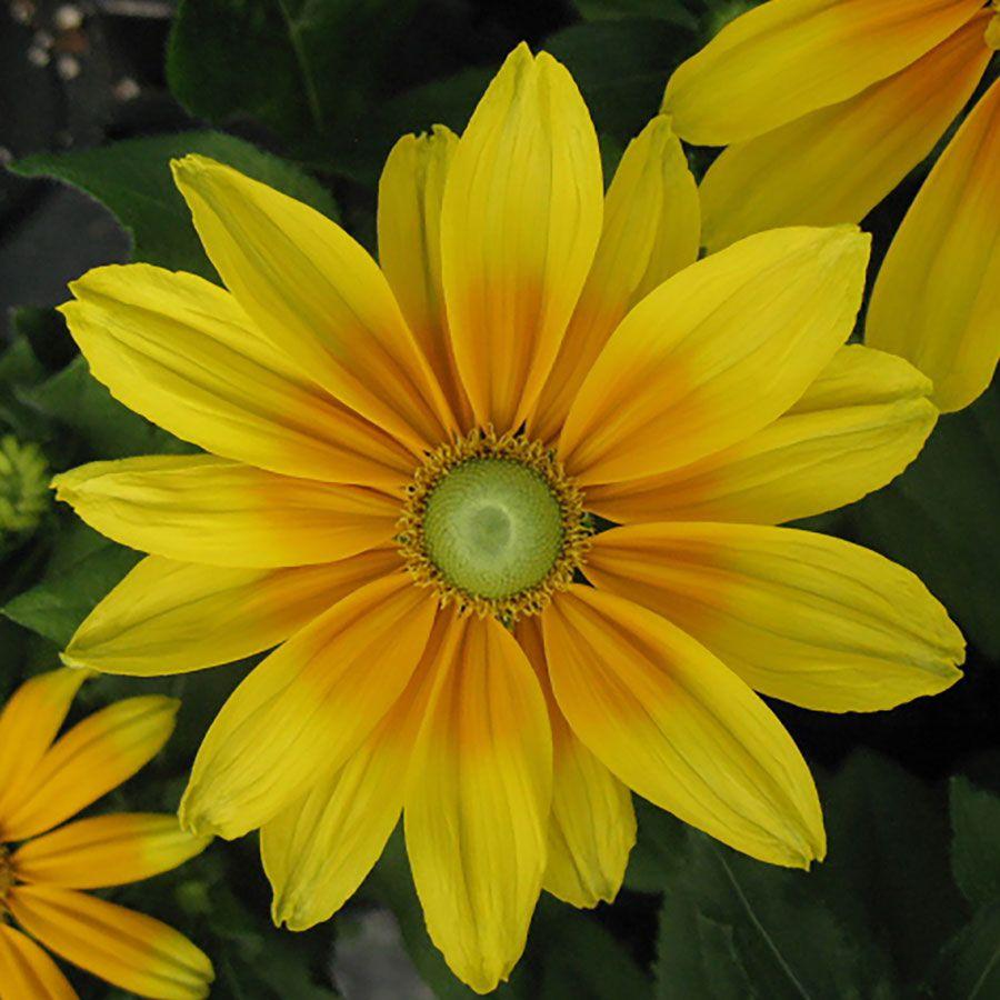 Prairie Sun Rudbeckia Seeds Image