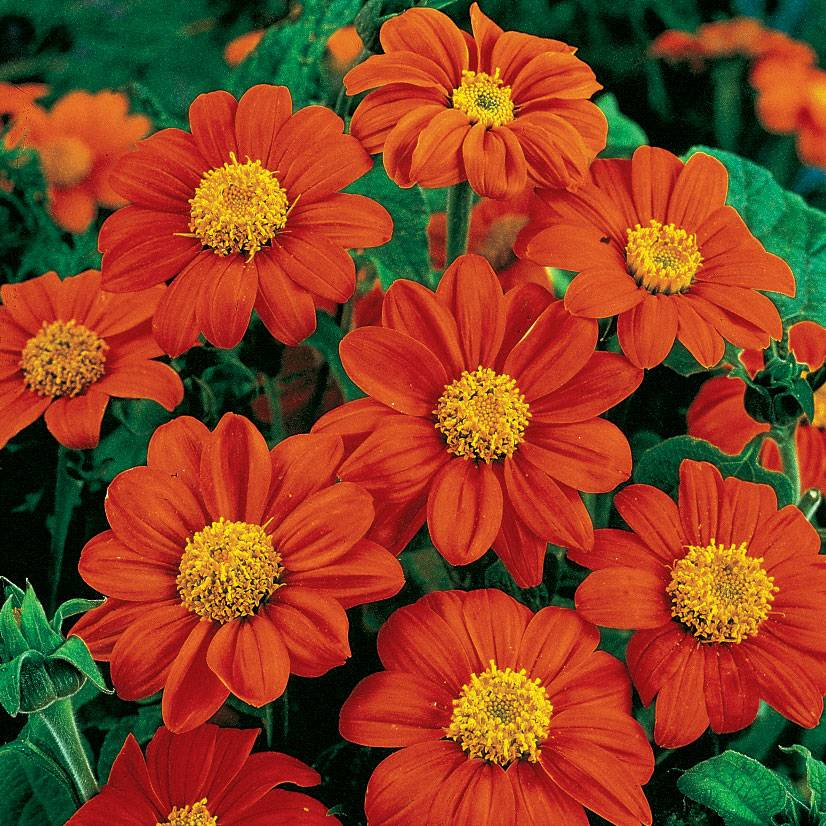 Fiesta Del Sol Mexican Sunflower Seeds From Park Seed