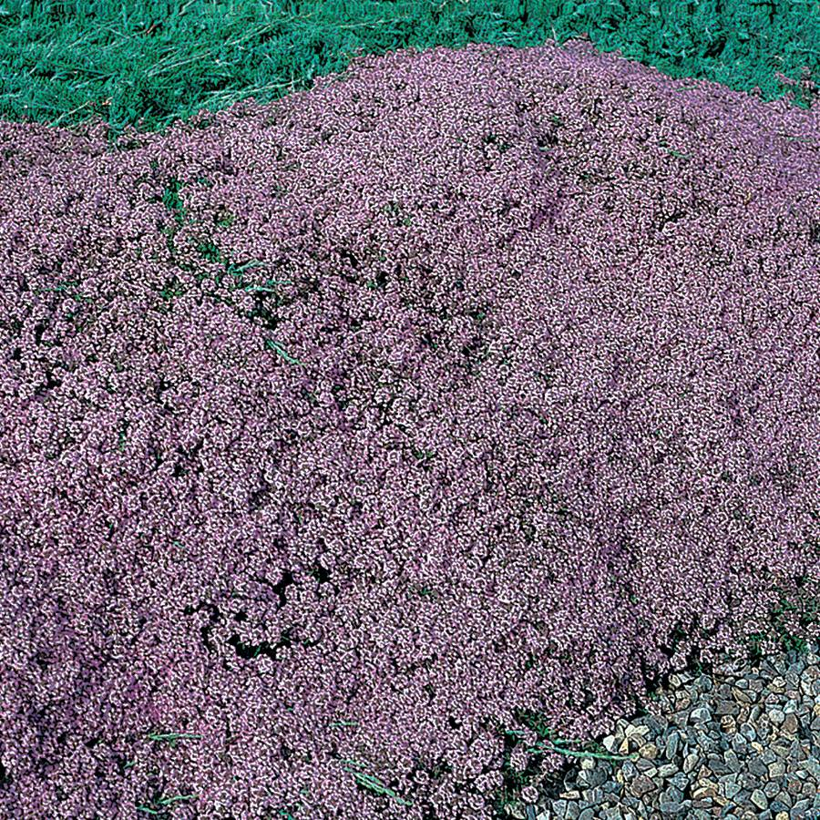 Mother of Thyme Seeds Image