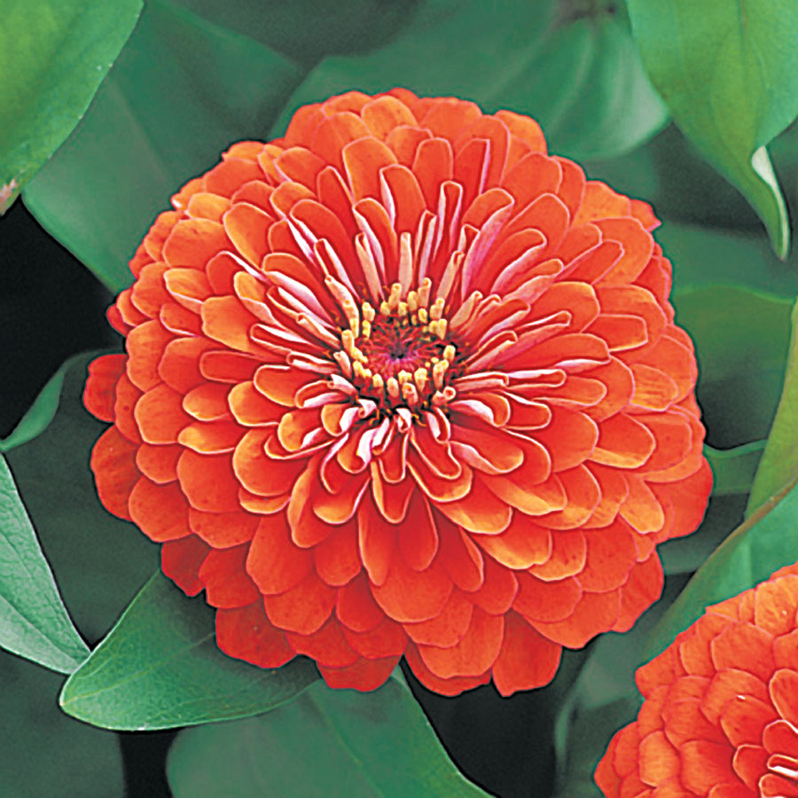 Dreamland™ Coral Hybrid Zinnia Seeds