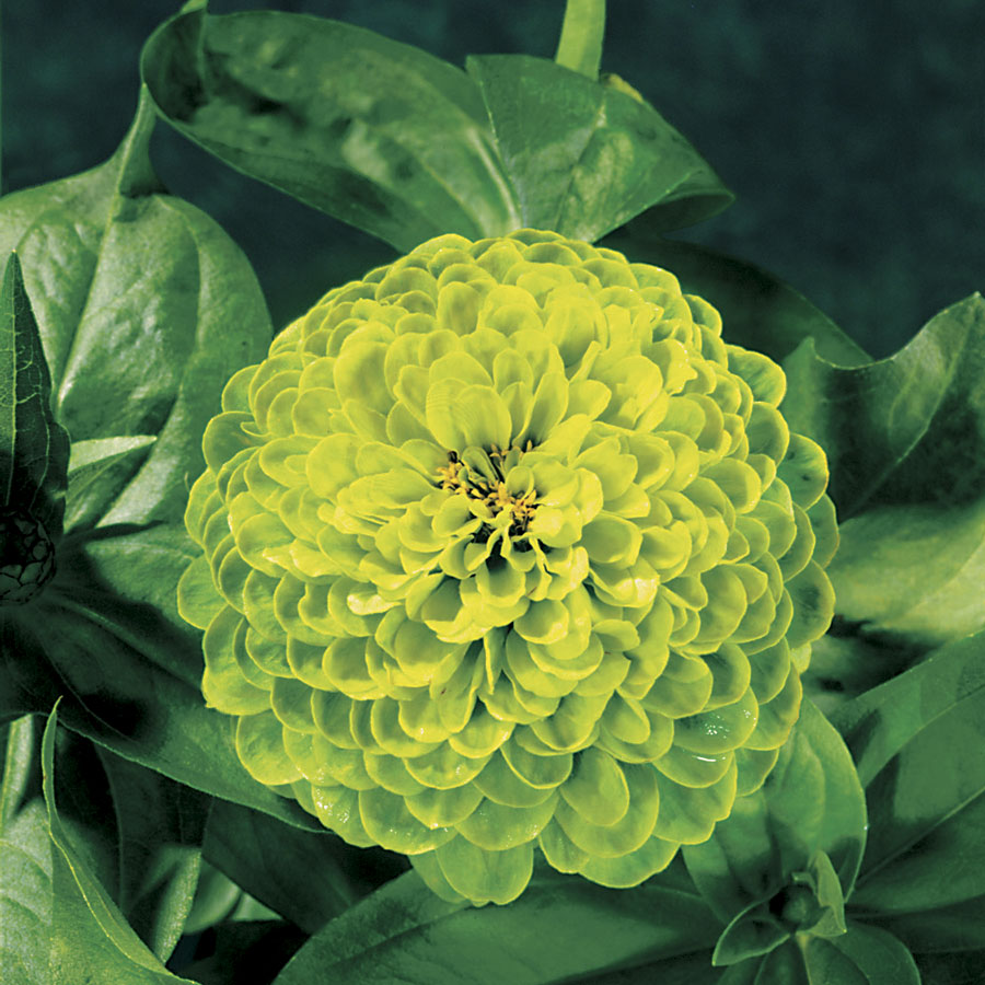Envy Zinnia Seeds From Park Seed