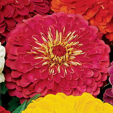 Park's Picks Carmine Rose Zinnia Seeds Image