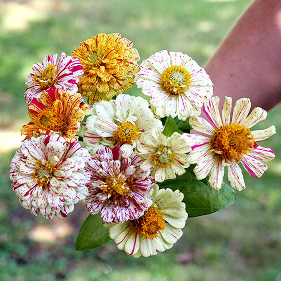 Peppermint Stick Zinnia Seeds From Park Seed