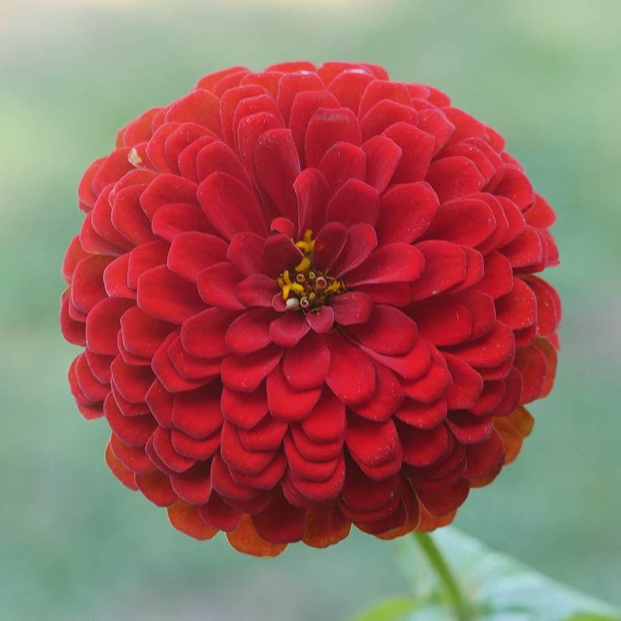 Park's Picks Deep Red Zinnia Seeds Image