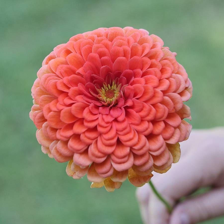 Park's Picks Coral Zinnia Seeds Image
