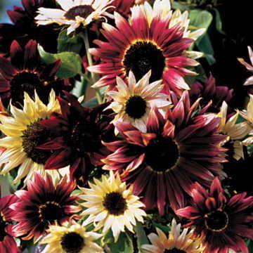Razzmatazz Mix Sunflower Seeds Image
