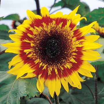 The Joker Sunflower Seeds Image