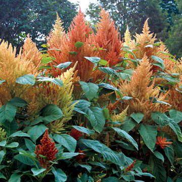 'Autumn's Touch' Amaranthus Seeds Image