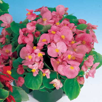 Pizzazz Pink Begonia Seeds Image