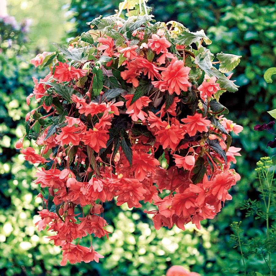 Illumination Pink Begonia Seeds From Park Seed