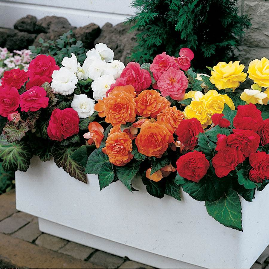 Nonstop Mix Begonia Seeds From Park Seed