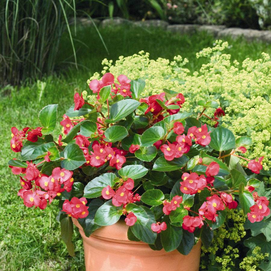 Red With Green Leaf Begonia Seeds