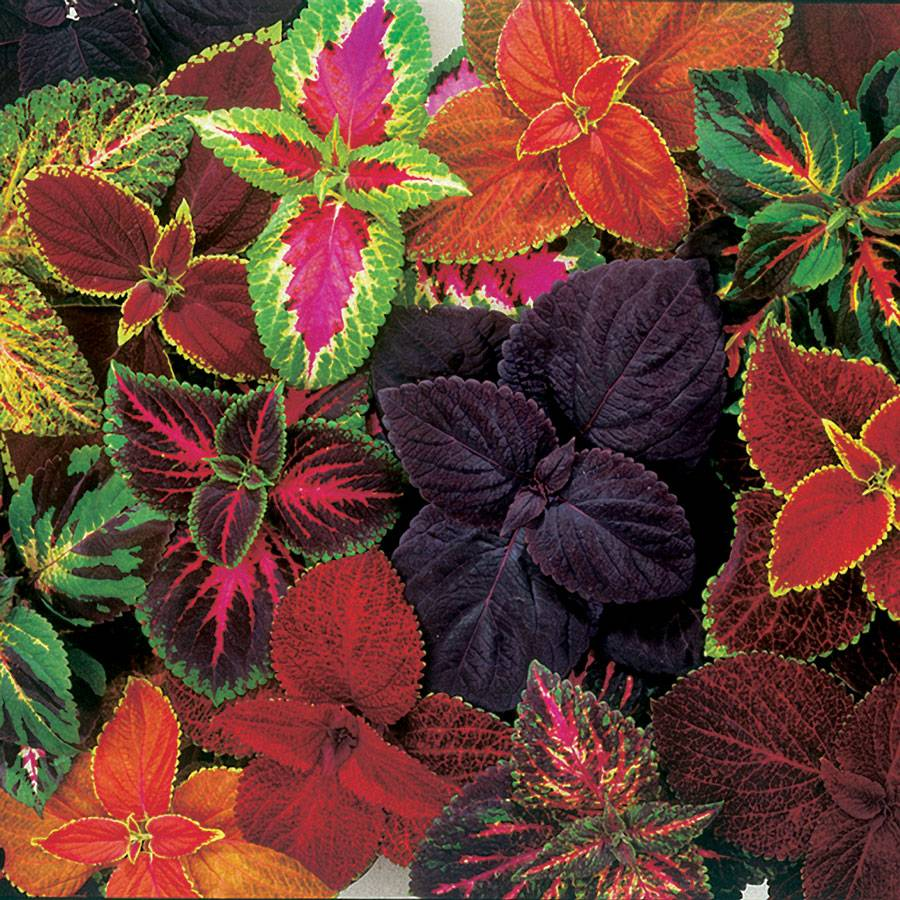 Giant Exhibition Complete Mix Coleus Seeds From Park Seed