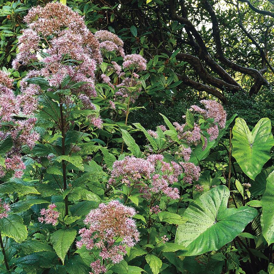 Joe Pye Weed Seeds