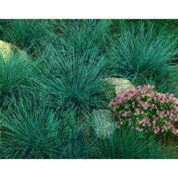 Blue Fescue Perennial Seeds Image