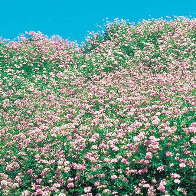 Penngift Crownvetch Flower Seeds Image