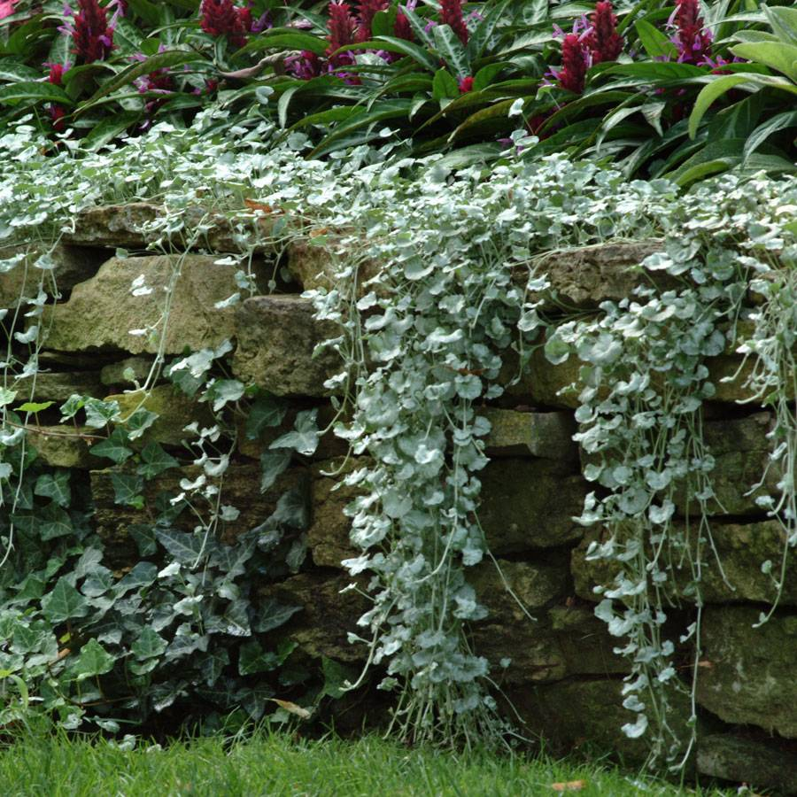 Silver Falls Dichondra Ground Cover Seeds