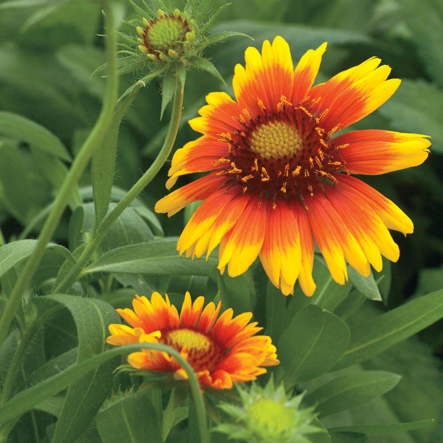 Arizona Sun Blanket Flower Seeds From Park Seed