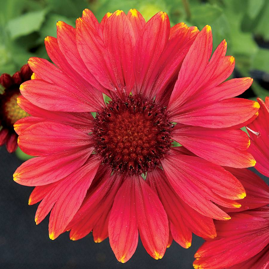 Arizona red shades blanket flower seeds izmirmasajfo