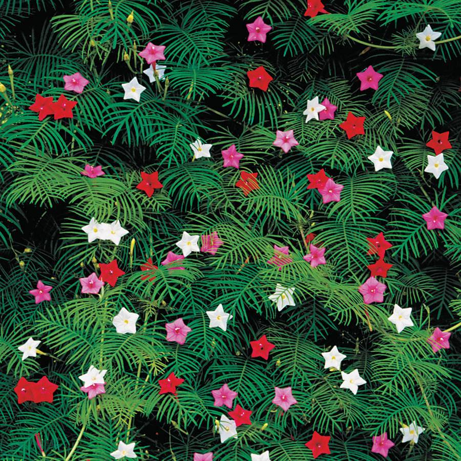 cypress vine mix seeds from park seed