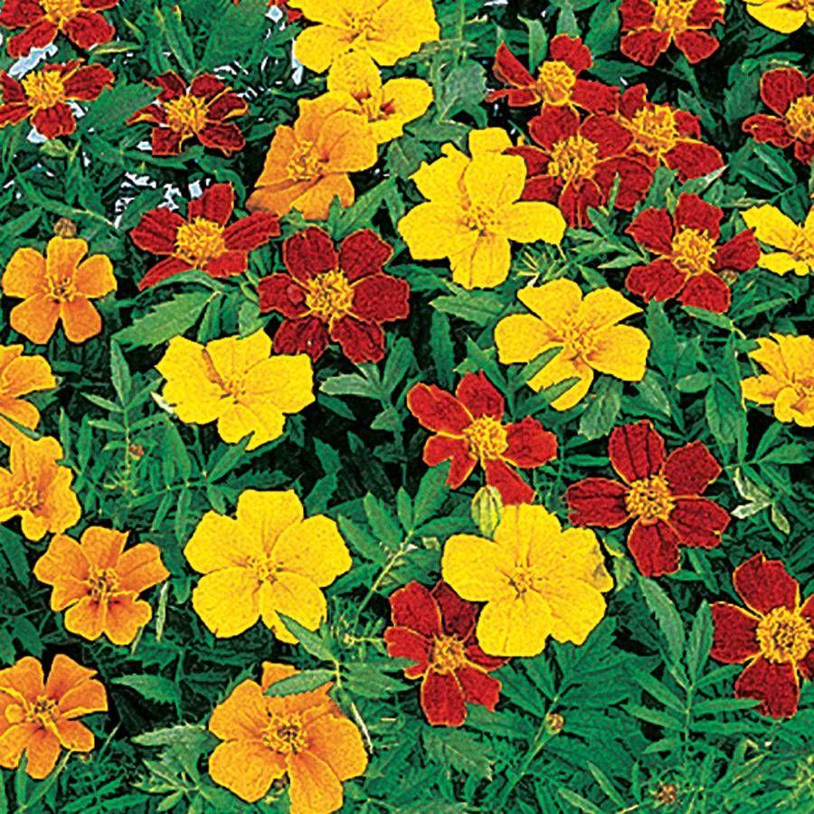Disco Mix Marigold Seeds Image