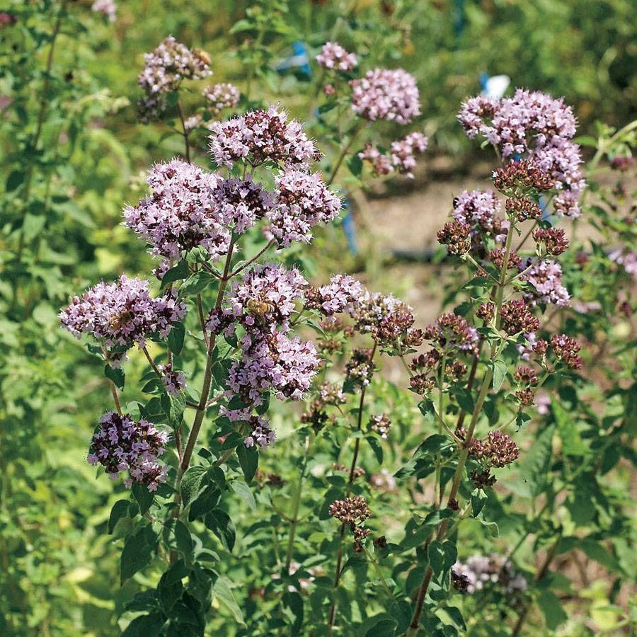 Oregano Seeds Image
