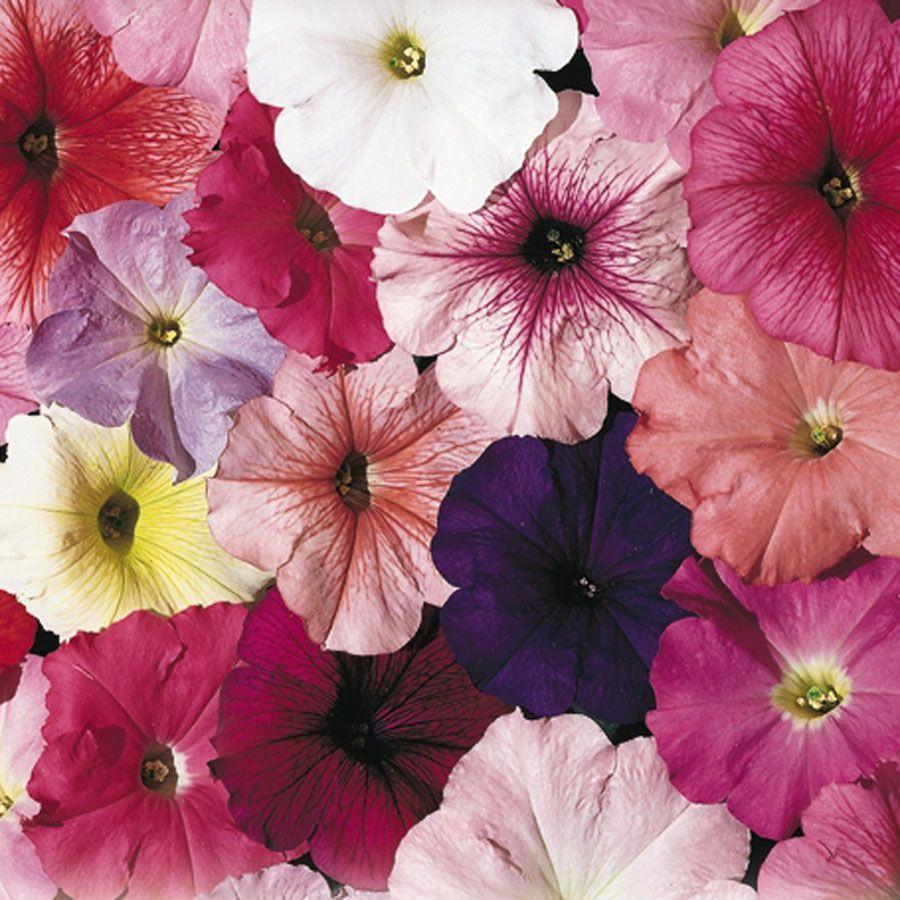 Celebrity Mix Petunia Seeds Image