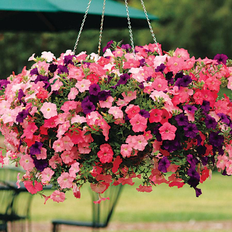 Easy Wave Beachcomber Mix Petunia Seeds From Park Seed