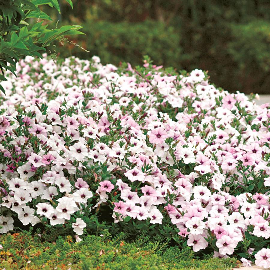 How to grow petunia from seeds - Tidal Wave Silver Petunia Seeds