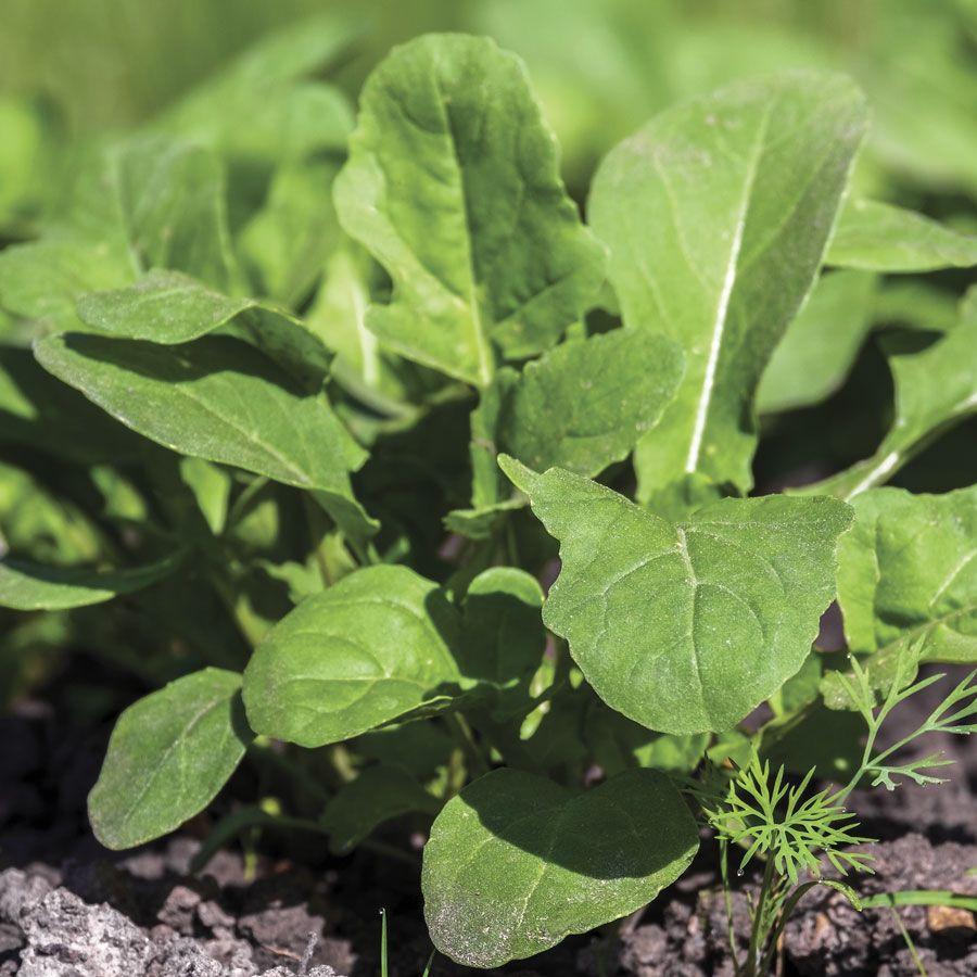 Arugula Seeds Image