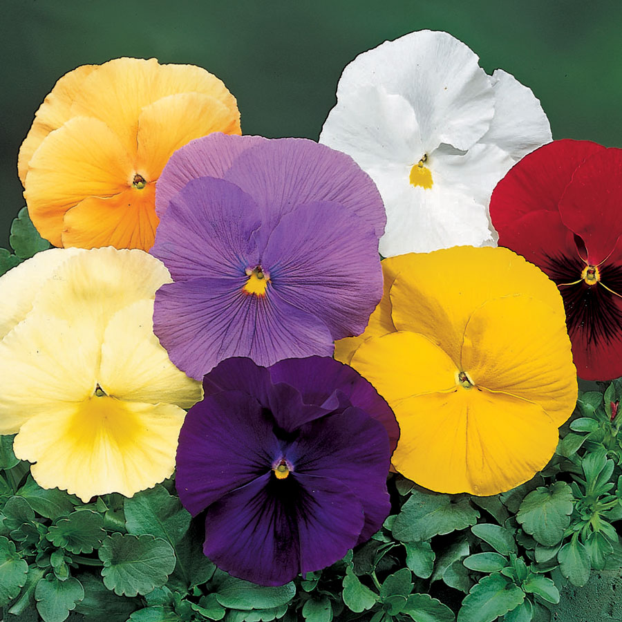 Delta™ Pure Colors Mix Pansy Seeds Image