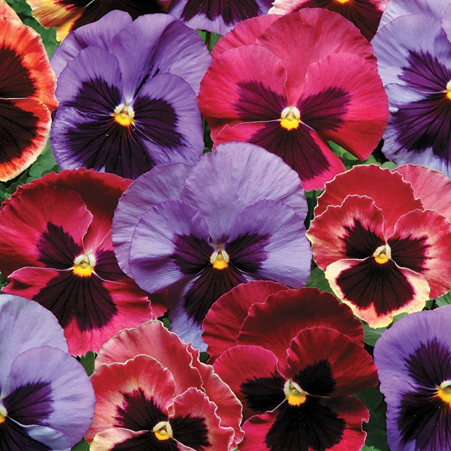 Matrix® Coastal Sunrise Pansy Seeds from Park Seed