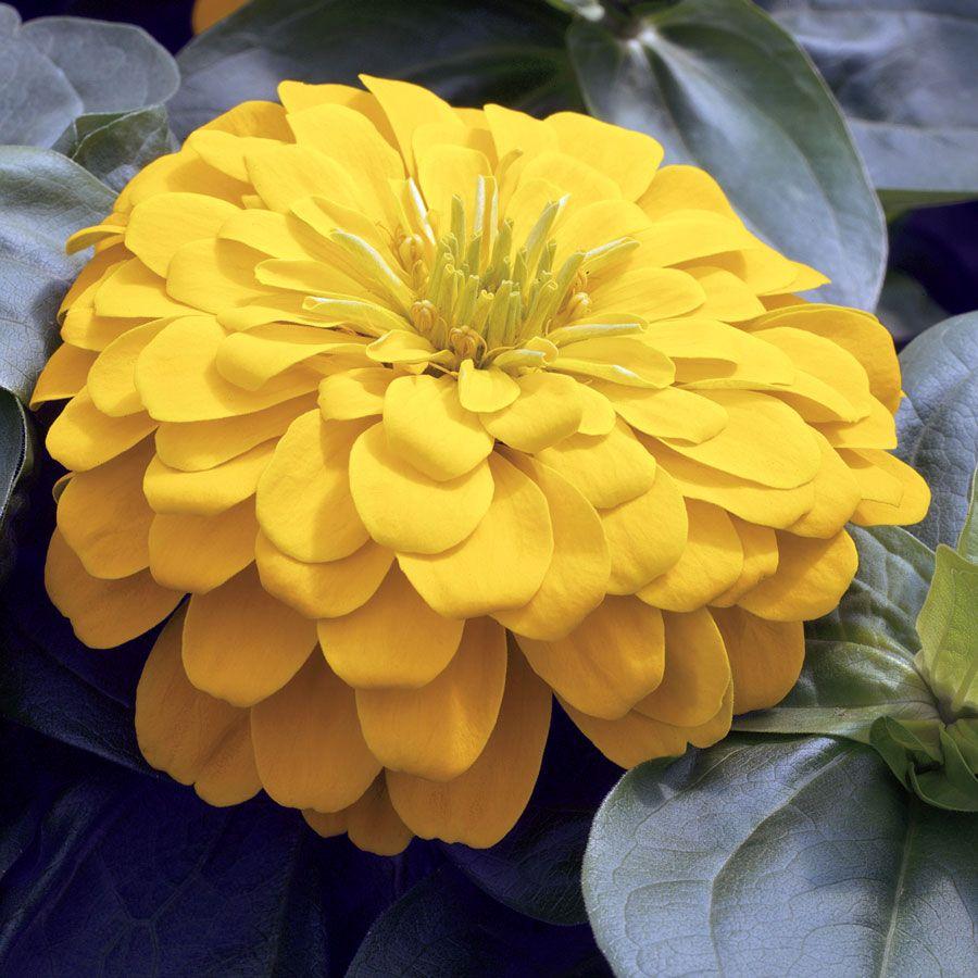 Magellan yellow zinnia seeds mightylinksfo Choice Image