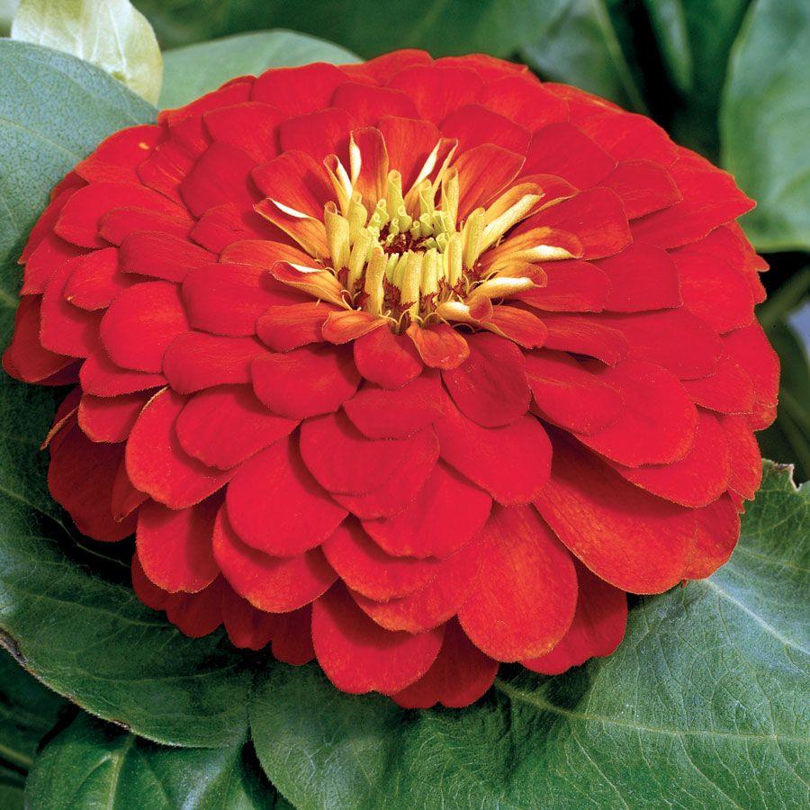 Magellan™ Scarlet Zinnia Seeds Image