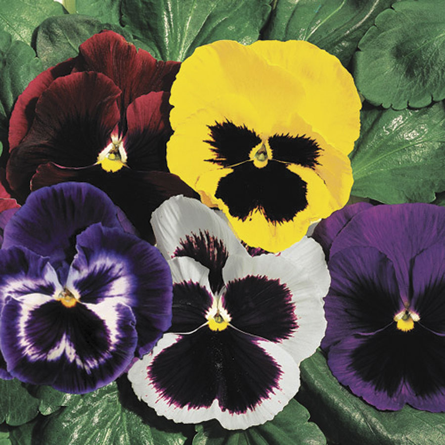 Parks whopper mix pansy seeds exclusive mightylinksfo