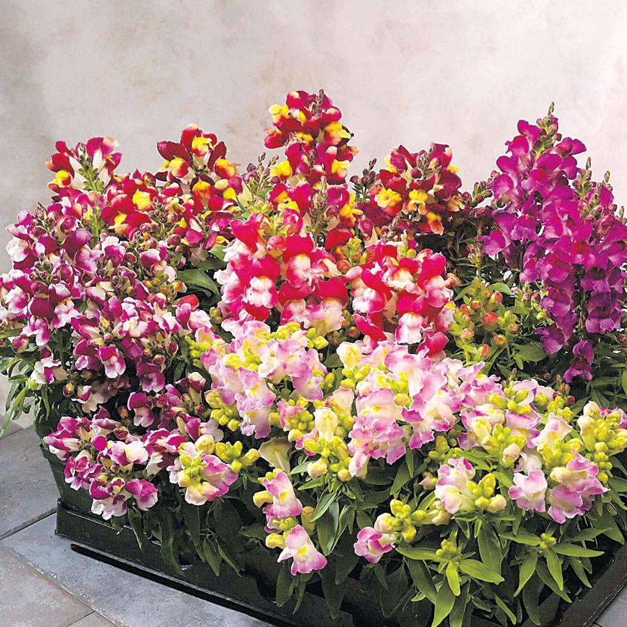 Floral Showers Bicolor Mix Snapdragon Seeds From Park Seed