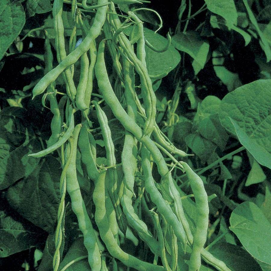 Kentucky Wonder Bean Seeds M 1 4 Lb