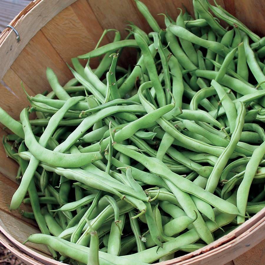 Kentucky Blue Pole Bean Seeds Image