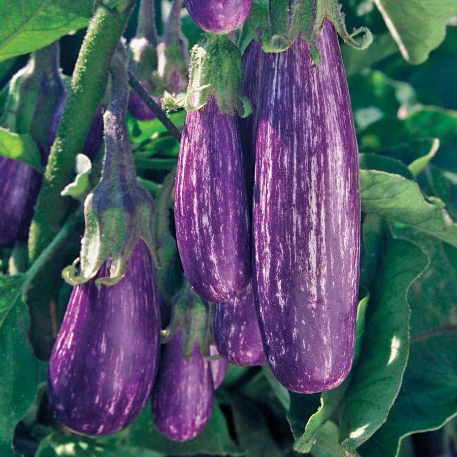 Fairy Tale Hybrid Eggplant Seeds Image