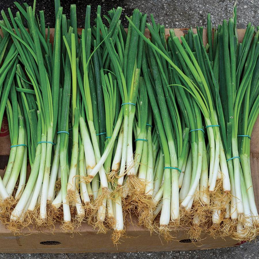 Parade green onion seeds for Green plants for garden
