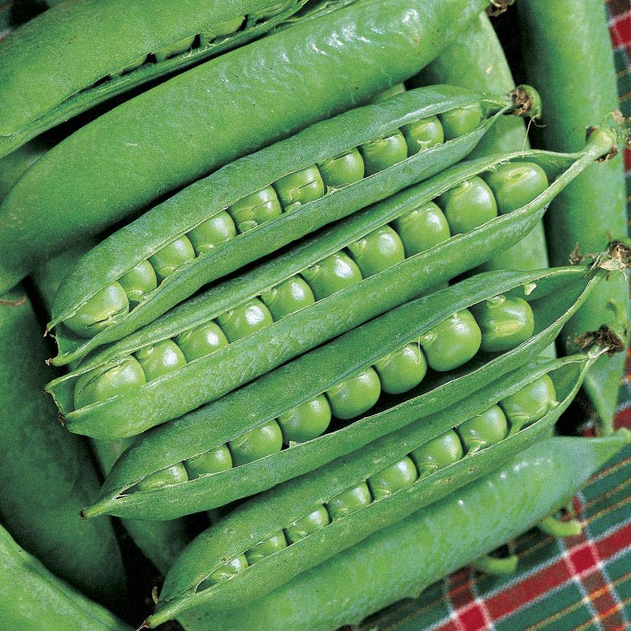 Growing Garden Peas: Green Arrow Pea Seeds From Park Seed