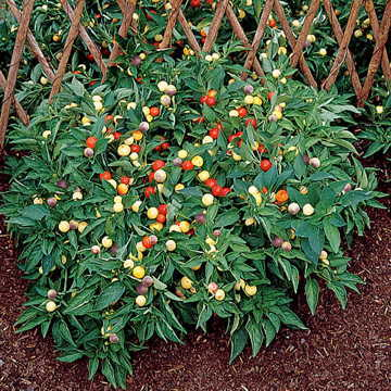 ornamental Marbles *HOT* Pepper Plant  Compact grow 25 SEED