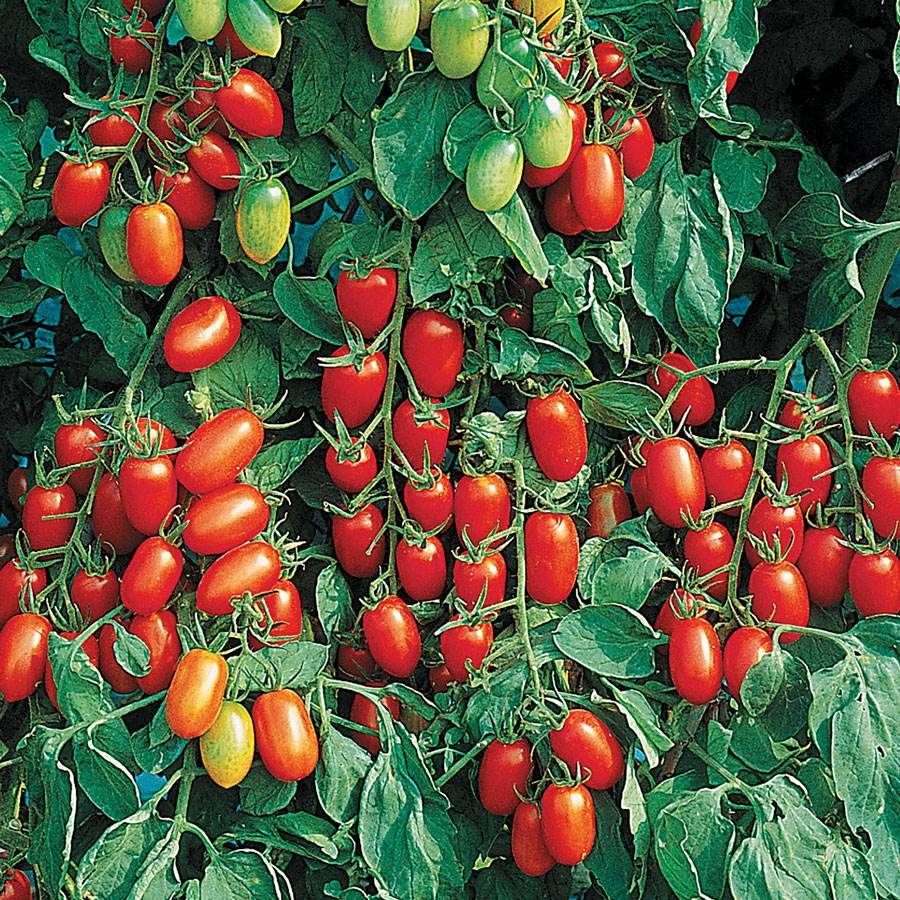 Juliet Tomato Seeds From Park Seed