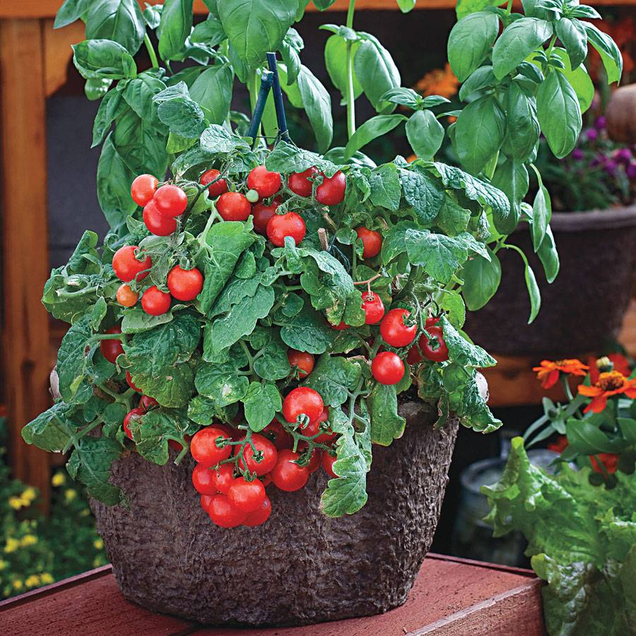 Red Robin Tomato Seeds From Park Seed